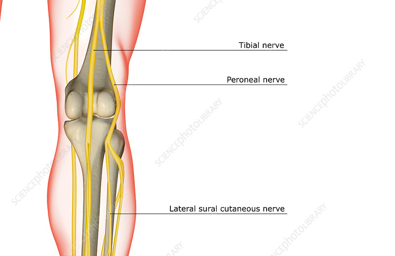 The nerve supply of the knee stock image f0017511 science photo the nerve supply of the knee ccuart Choice Image