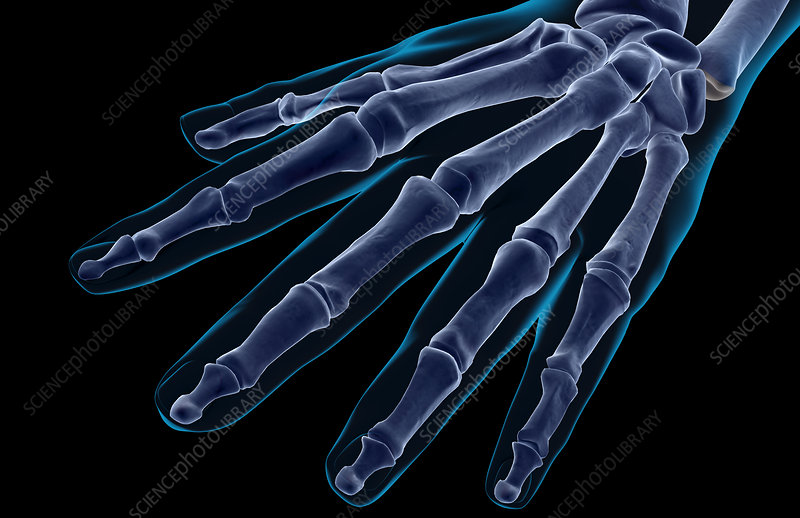 The bones of the hand
