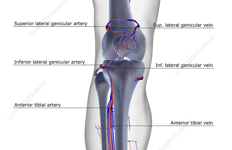 The blood supply of the knee