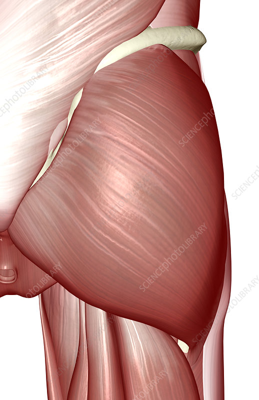 The muscles of the hip