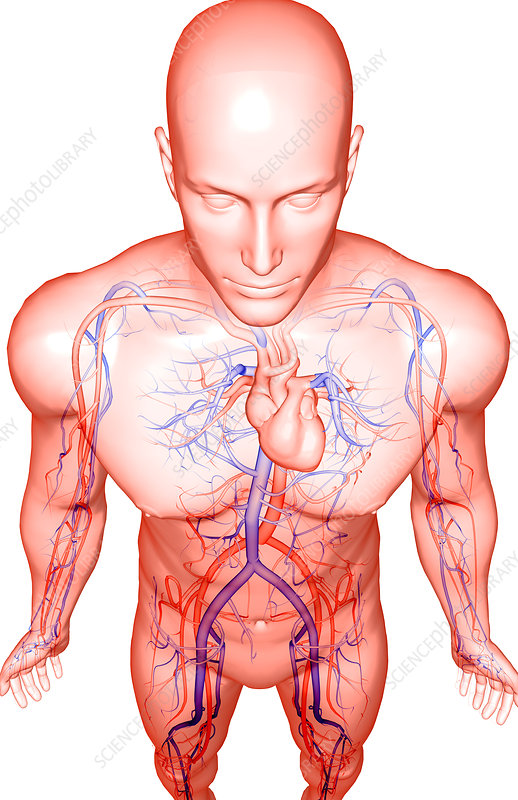 The blood vessels of the upper body
