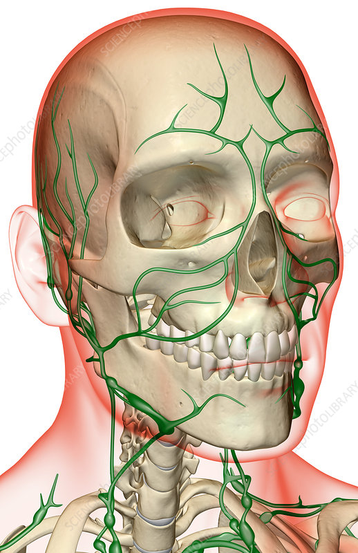 The lymph supply of the head and neck