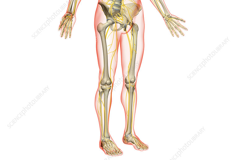 The nerves of the lower body