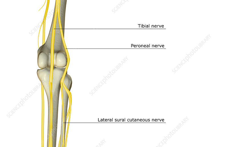 The nerve supply of the knee