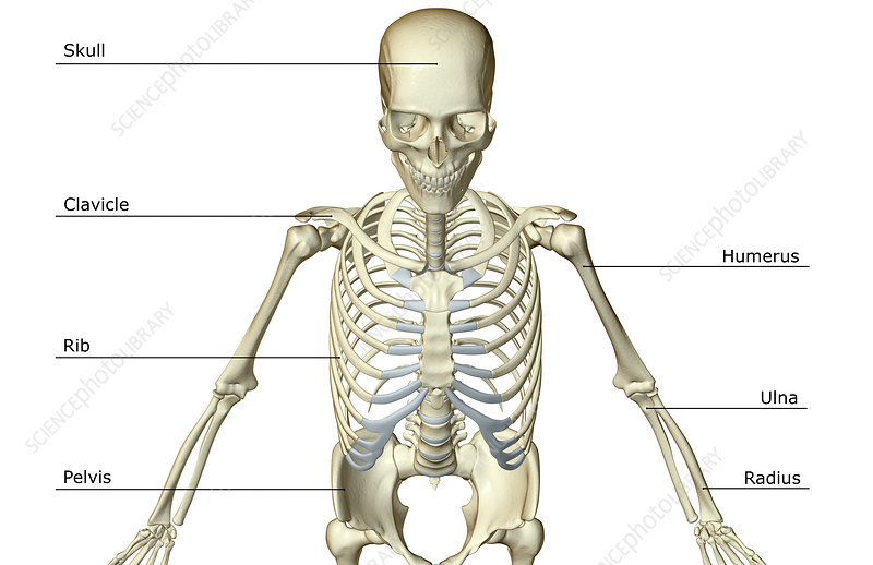 The Bones Of The Upper Body Stock Image F0017914 Science Photo