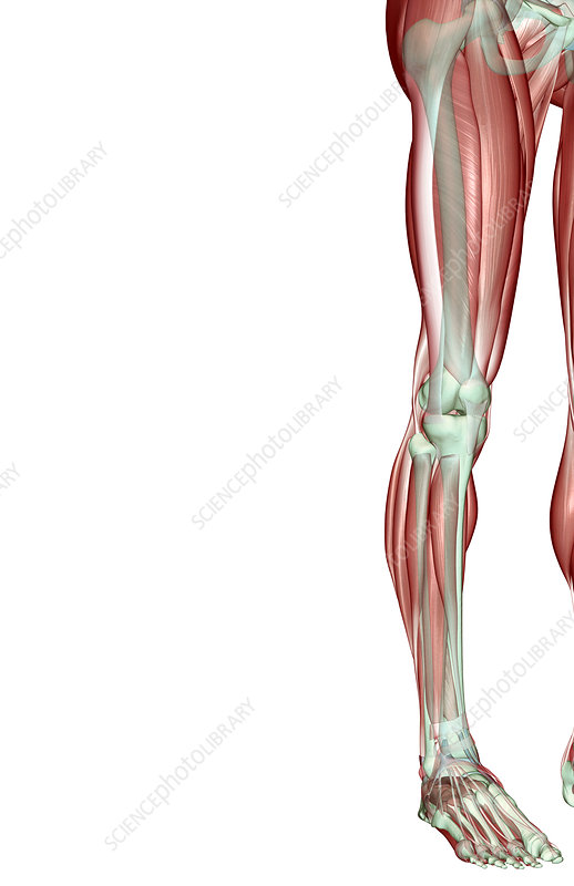 The musculoskeleton of the lower limb