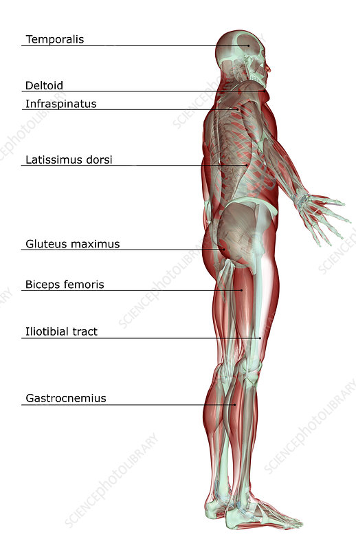 The musculoskeletal system - Stock Image F001/7938 - Science Photo ...