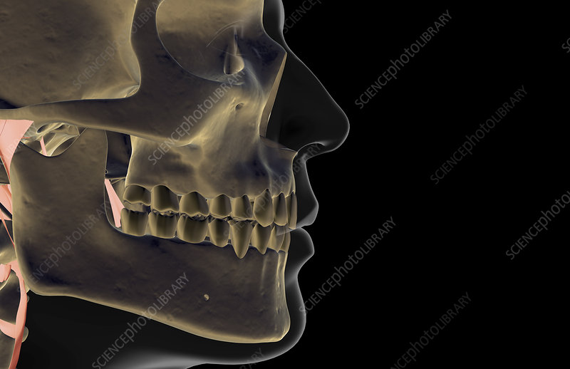 The bones of the jaw
