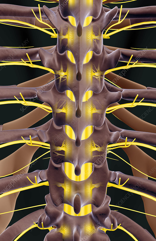 The nerves relative to the thoracic vertebrae