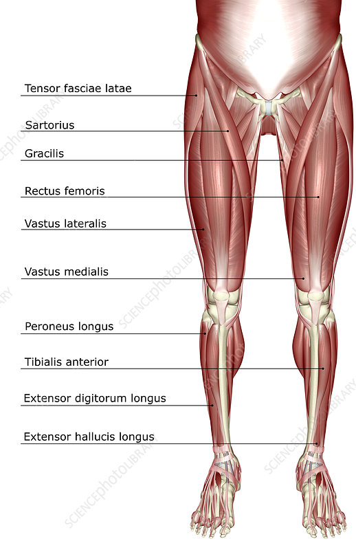 The Muscles Of The Lower Body Stock Image F0018030 Science