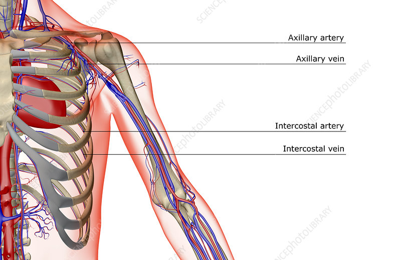The blood supply of the shoulder and upper arm