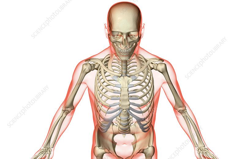 The Bones Of The Upper Body Stock Image F0018298 Science