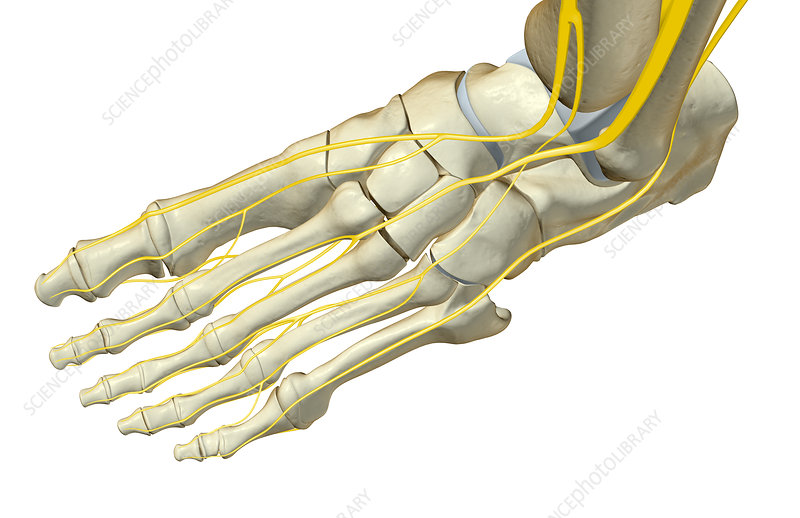 The nerves of the foot - Stock Image F001/8604 - Science Photo Library