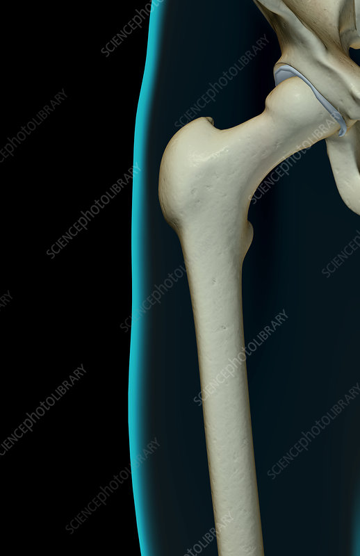 The bones of the hip