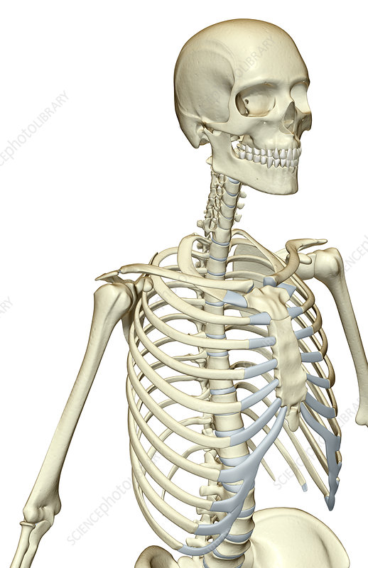 The Bones Of The Upper Body Stock Image F0018766 Science