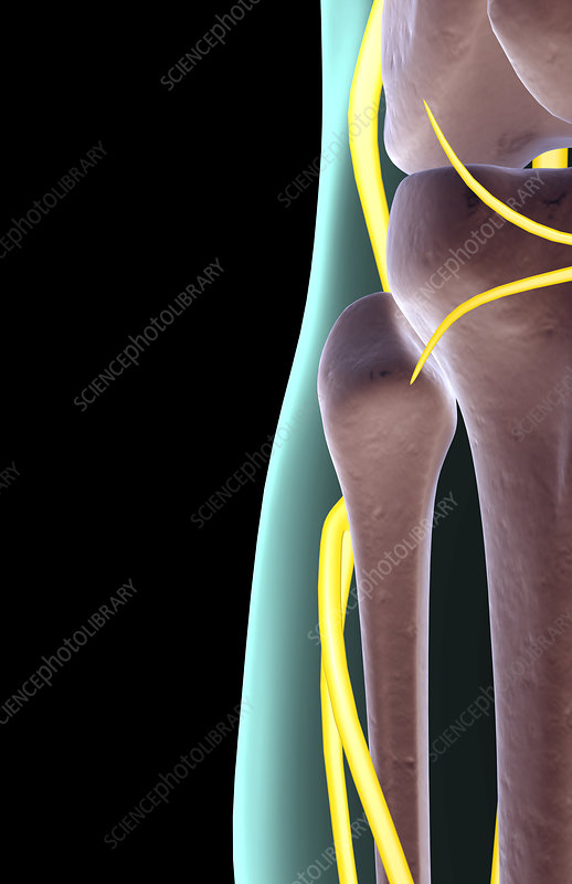 The nerves of the knee