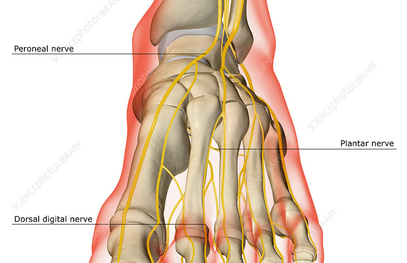 The nerves of the foot - Stock Image F001/8892 - Science Photo Library