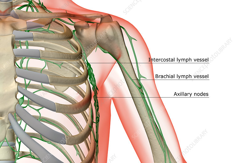 The lymph supply of the shoulder