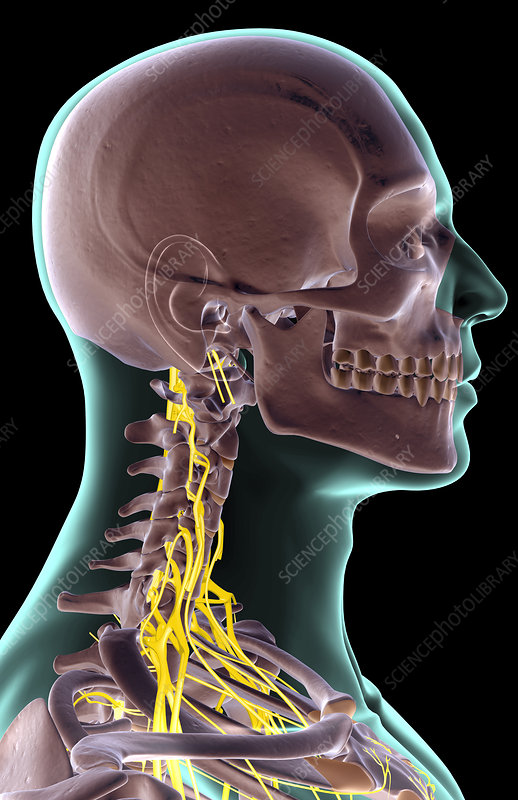 The nerves of the neck