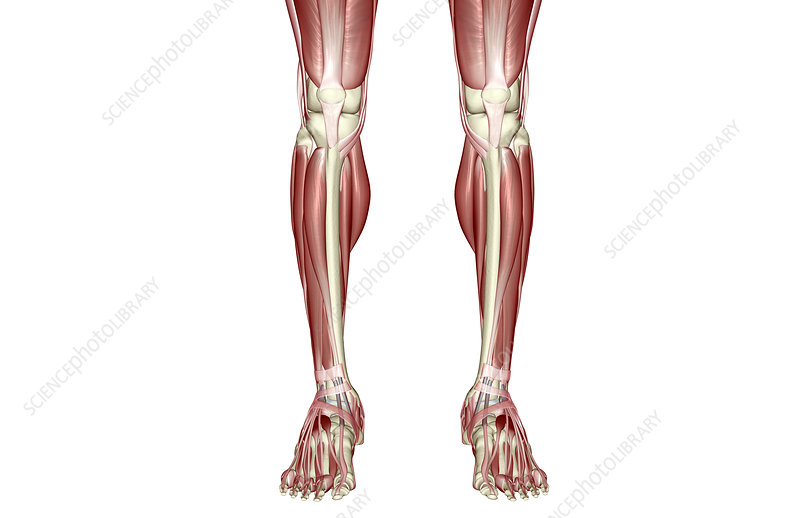 The muscles of the legs