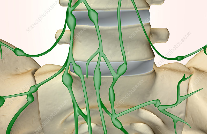 The lymph supply of the vertebral column