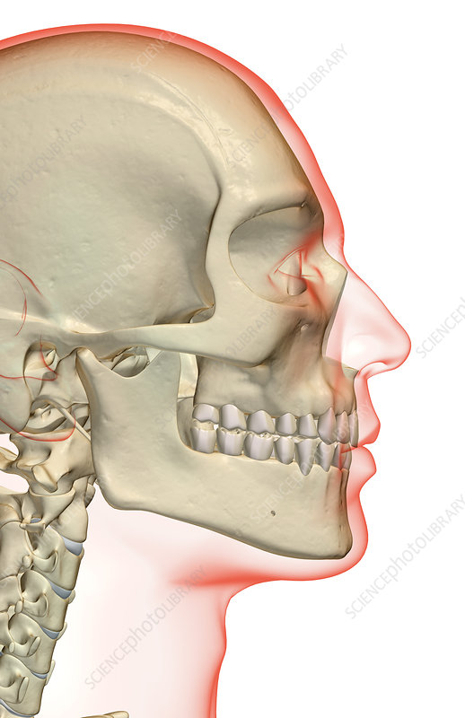 The bones of the head and face