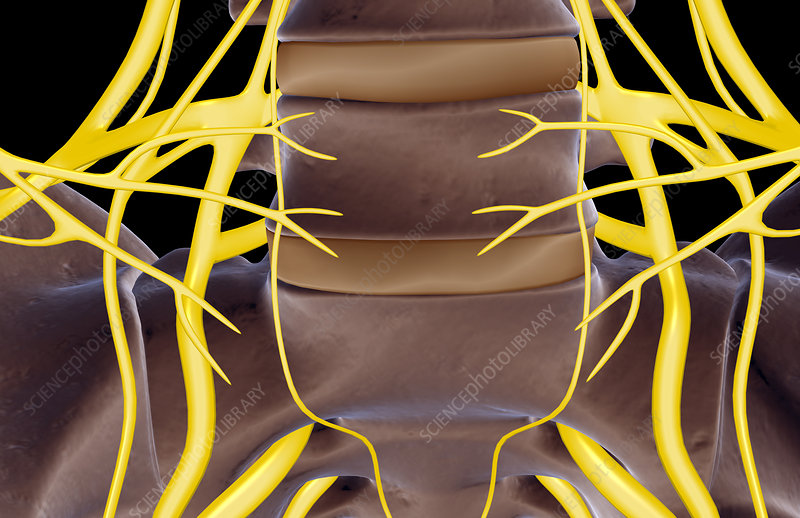 The lumbar nerves