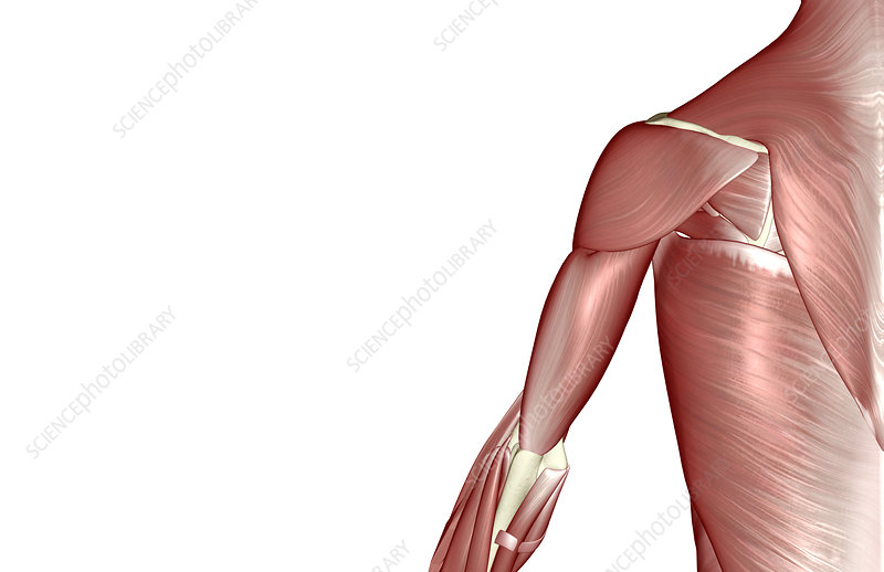 The muscles of the shoulder and upper arm