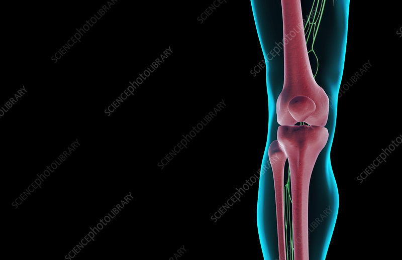 The lymph supply of the knee