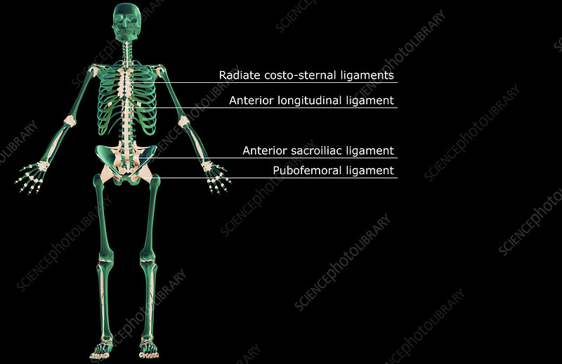 The ligamentous system