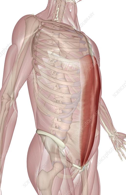 Rectus abdominis - Stock Image F002/0210 - Science Photo Library