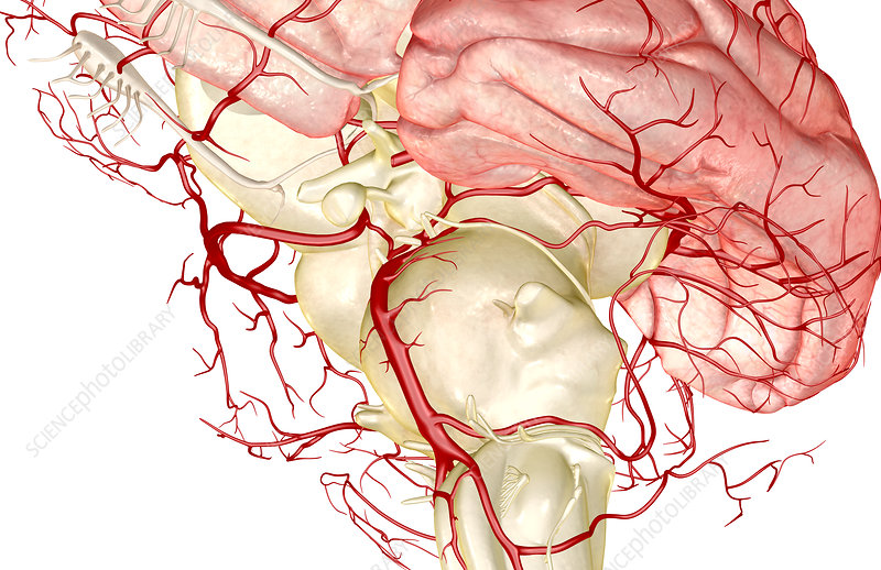 The arteries of the brain