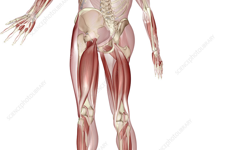 Muscles of the upper leg