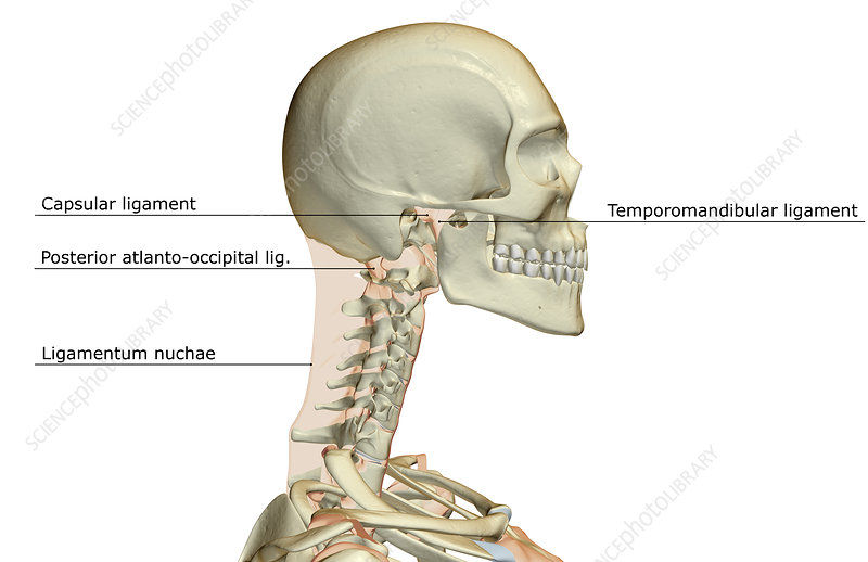 Ligaments of the head - Stock Image F002/0400 - Science Photo Library