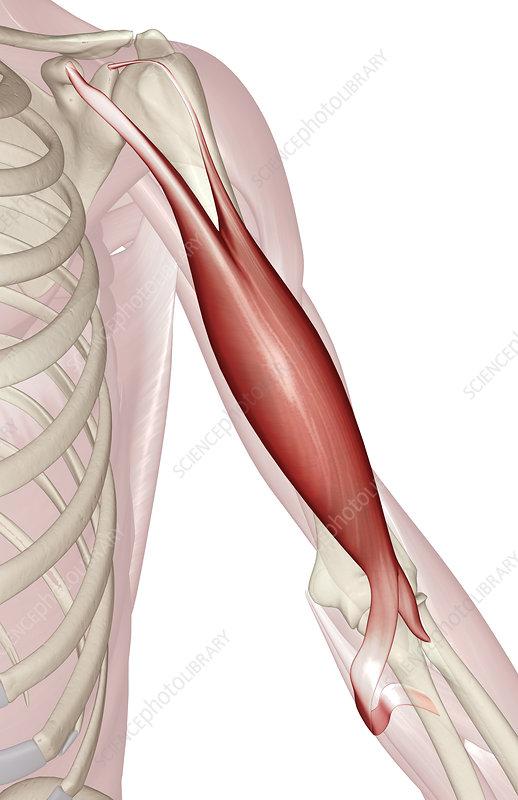 Biceps brachii - Stock Image F002/0454 - Science Photo Library