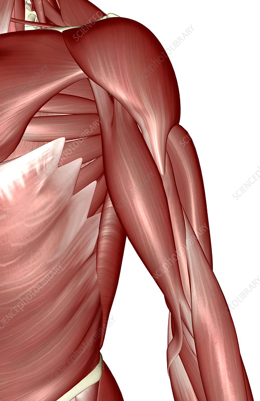 Muscles of the arm and torso