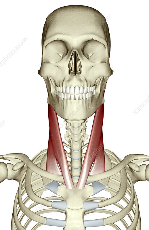 Sternocleidomastoid muscle - Stock Image F002/0561 - Science Photo ...