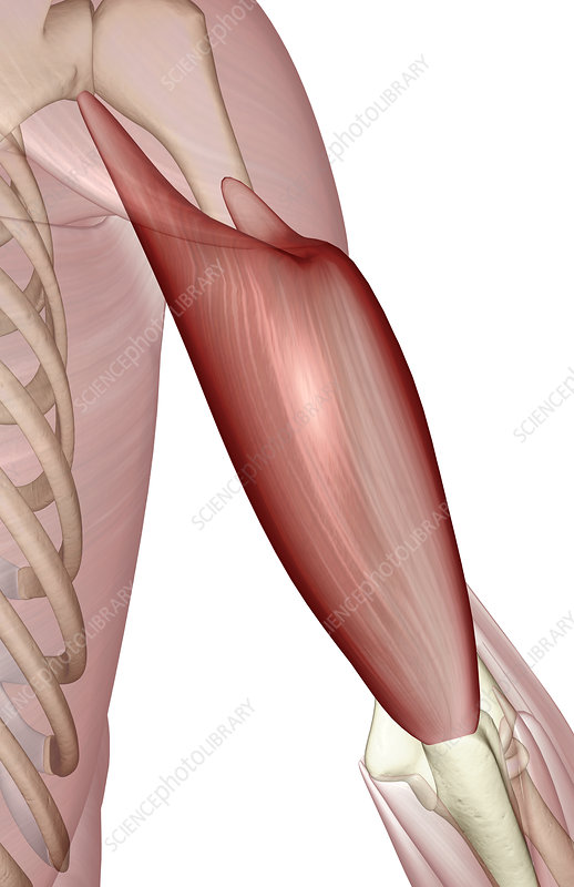 Triceps Brachii Stock Image F0020645 Science Photo Library
