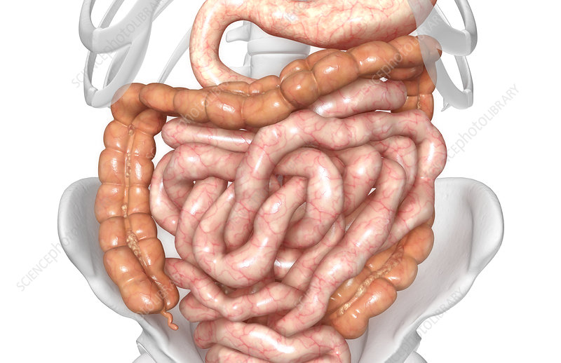 The intestines
