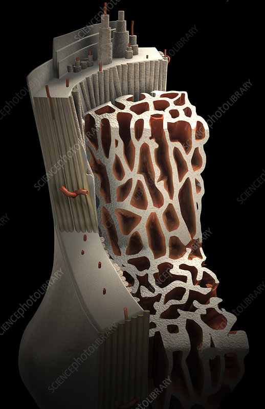 Bone internal structure