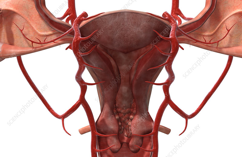 The arteries of the female reproductive system