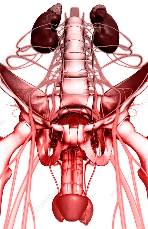 Nerve supply of the urinary system