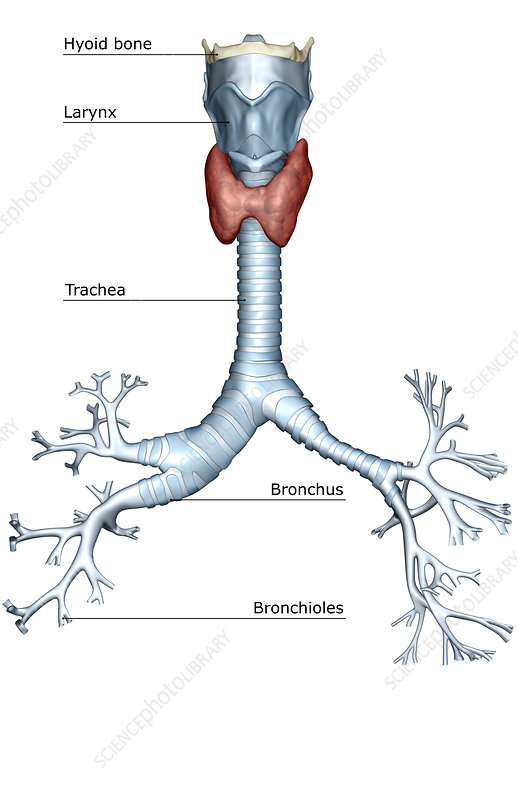 'The larynx, trachea and bronchial tree'