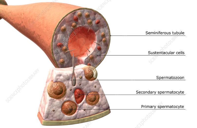Seminiferous Tubules Of The Testes Stock Image F0022969 Science