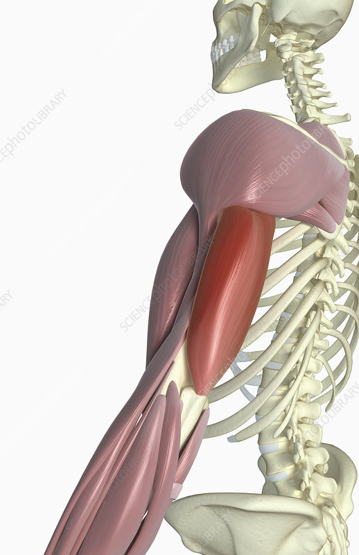 Triceps Brachii Stock Image F0023430 Science Photo Library
