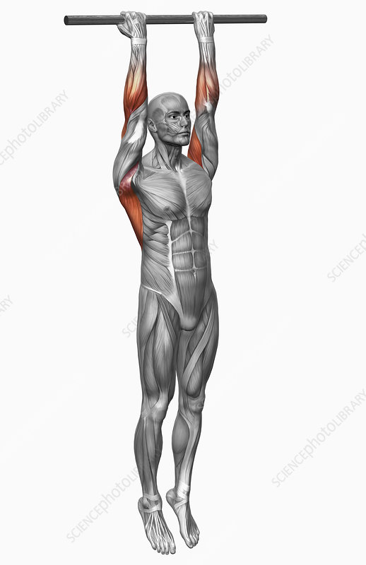 Chin Up Exercise Part 2 Of 2 Stock Image F0023546 Science