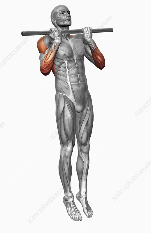 Chin Up Exercise Part 1 Of 2 Stock Image F0023547 Science
