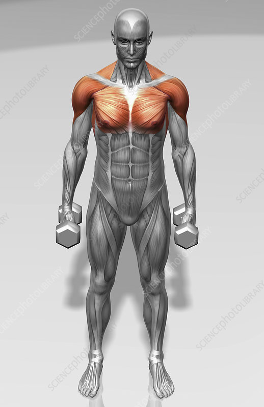Standing biceps curl (Part 2 of 2)