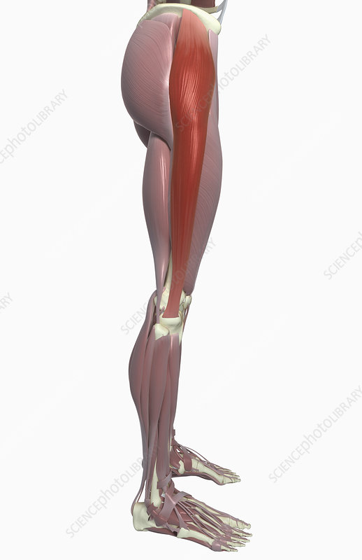 library anatomy tensor fasciae latae muscle