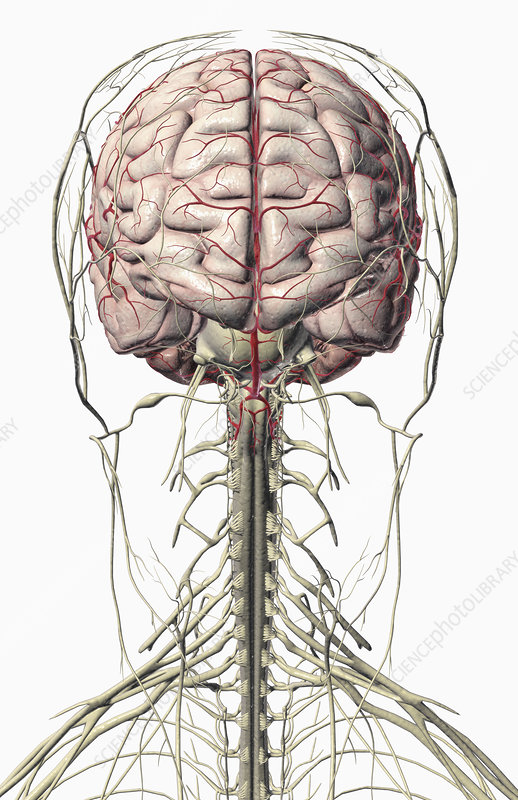 The brain and nerves of the head and neck